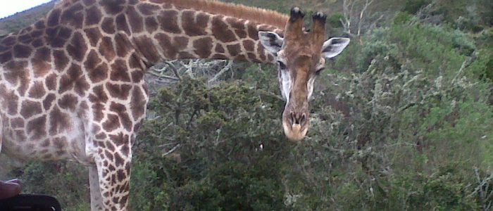 giraffe-seen-from-vehicle